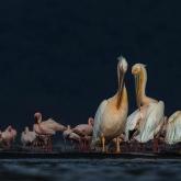 Pelicans and Flamingos by Bernice Fargus (A Grade) HONOUR