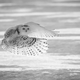 Snowy Owl over Snow by Bernice Fargus (A Grade) MERIT