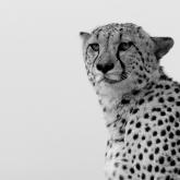 Cheetah at Phinda by Lynda Mckay (AB Grade) MERIT