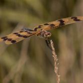 Dragonfly Grace by Kathlyn Tedder (AB Grade) MERIT