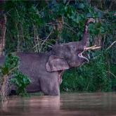 Pygmy elephants by Karoly Nemeskeri (A Grade) MERIT