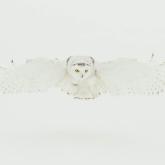 Snowy Owl by Bernice Fargus (A Grade) MERIT