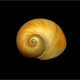 Shell by Robyn Duncombe (AB Grade) MERIT