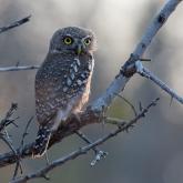 Pearl spotted owlet by Lynda Mckay (AB Grade) HONOUR
