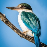 Kingfisher by Albert Lewis (A Grade) MERIT