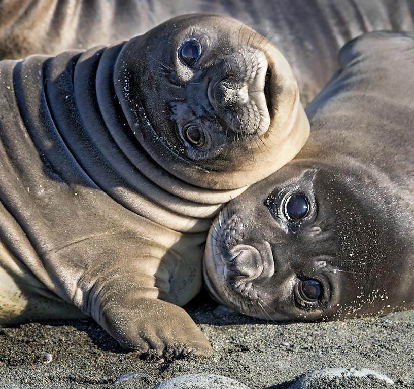 Weaner Elephant Seals